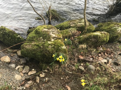 Daffocils with mossy rocks