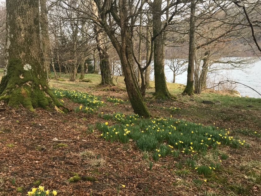 Lakeside Daffodils near Gowbarrow