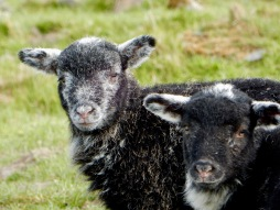 Herdwick lambs with faces just beginning to turn white
