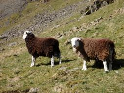 Herdwick hoggs (one year olds)
