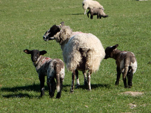 N Country Mule with MulexSuffolk lambs