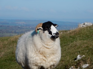 Rough Fell sheep1